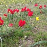 Тюльпаны-души воинов
